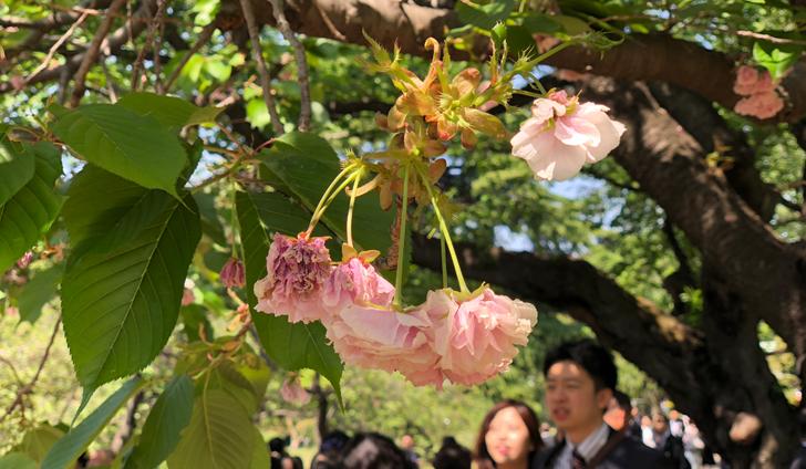 季節外れの桜/2018年桜を見る会